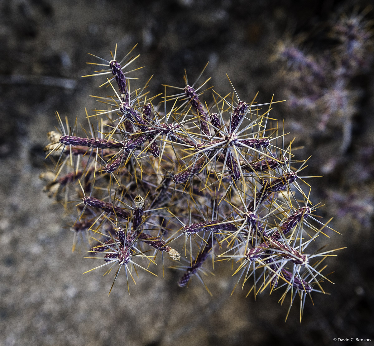 California, Joshua Tree National Park, Cactus, photo
