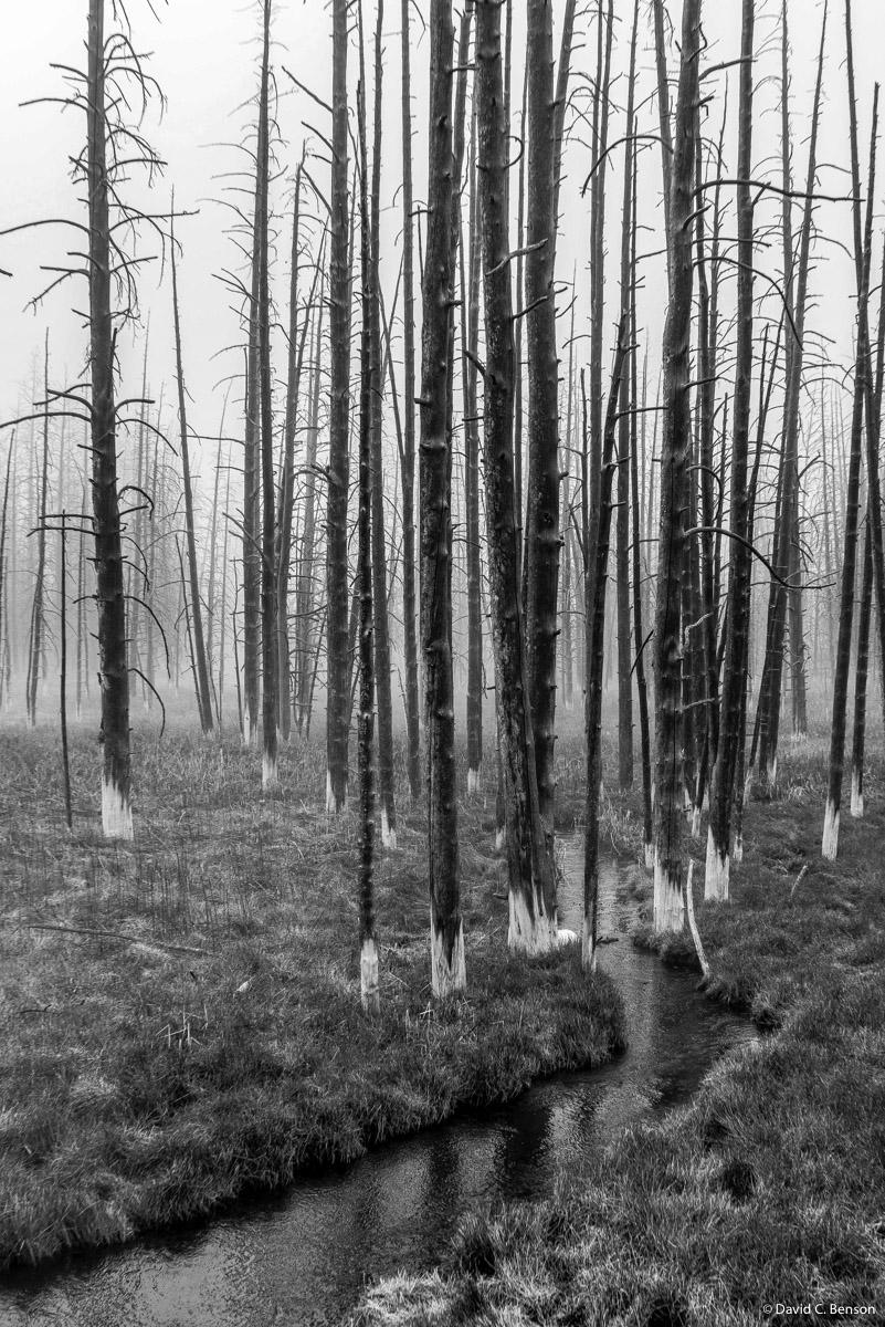 Montana, Yellowstone, Yellowstone National Park, Fire roasted trees, Foggy Morning,, photo